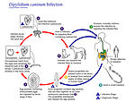 This is an illustration of the life cycle of Dipyl