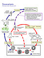 This is an illustration of the life cycle of Toxoc