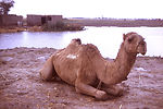 In this photograph, a camel relaxes near a village