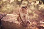 The rhesus monkey, Macaca mulatta,  photographed h