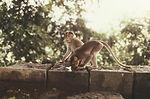 Theses two rhesus monkeys, Macaca mulatta, photogr