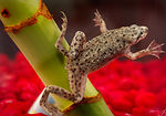 This photograph depicts an African dwarf frog, Hym