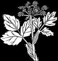 Heraculeum lanatum