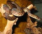 Deutsch:  Ein Gefleckter Python aus der Gattung der Südpythons. An Antaresia maculosa (spotted python).