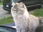 This picture is of my 1 year old Seal Lynx Point Persian