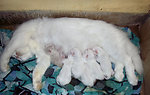 "Doll faced Persian cat Matahari with her 6 kittens which are 2 days old. Most kittens of a large litter never survive in the wild, hence most feral cats average about 2 to 4 kittens/litter. ""Persian"" and other ""Pedigreed Cats"" have smaller litters"