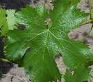 Cab franc leaf from Hedges vineyard in the en:Red Mountain AVA. Photo take on Sun June 10th 200 with a kodak z650
