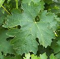Cabernet Sauvignon leaf from Hedges Vineyard in Red Mountain AVA. Photo taken Sunday, June 20th, 2007 with Kodak z650