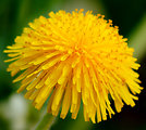 Self made picture of Dandelion flower head.