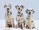 Die verschiedenen Farben eines Dalmatiners