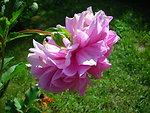 Русский:  Розовая (фиолетовая) георгина Dahlia pink
