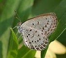 Name Pseudozizeeria maha Family Lycaenidae    Pale Grass Blue.   日本語:  ヤマトシジミ     Location: Osaka, Japan   Camera Details: Camera: PENTAX K10D Lens: TAMRON SP AF90mm F/2.8 Di (Model272E)