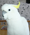 An Eleonora cockatoo (Cacatua galerita eleonora. It has a rounded pale-yellow crest, white cheeks, and very pale-blue eye-rings.