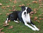 Dog breed Canadian Pointer black and white Português:  Raça de cão Canadian Pointer preto e branco