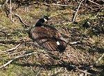 A nesting Canada Goose (Branta canadensis) at the Tifft Nature Preserve, Buffalo, NY.