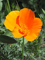 Eschscholzia californica — California poppy.  Taken on the grounds of the Vedanta Society temple, in the Santa Ynez Mountain foothills above Montecito, southern California. photo by User:Antandrus, March 18, 2002.