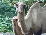 Camel at the zoo in hamburg, germany
