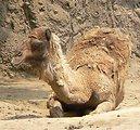 Camelus dromedarius in mexico city zoo