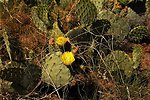 Another Prickly Pear Cactus in bloom in the Agua Fria National Monument.