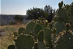 Prickly Pear cacti in sharp focus in foreground with Agua Fria National Monument landscape out of focud in the background.