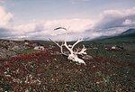 Caribou skull on tundra, Seward Peninsula