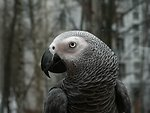 The African Grey Parrot (Psittacus erithacus). side of head and neck.
