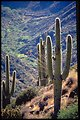 Tall Saguaro Cacti grow in a canyon in the Agua Fria National Monument.