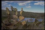 Prickly Pear cacti grow along the Agua Fria River in the Agua Fria National Monument.