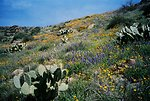Many different kinds of beautiful wildflowers grow in the Agua Fria National Monument. Also shown is the Prickly Pear cactus.