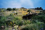 A field of Prickly Pear Cacti and wildflowers in the Agua Fria National Monument.