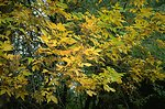A combination of green and yellow leaves on a tree at Howrey Island Recreation Area