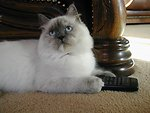 'Mindy'; Ragdoll lilac tortie-point