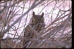 Great Horned Owl near Frenchglen, Oregon, in Harney County.