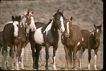 South Steens Wild Horses await adoption at Burns Wild Horse Corrals, Oregon.