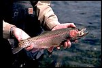 Rainbow trout being held before release