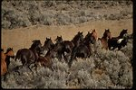 Wild horses entering trap on the Warm Springs Herd Management Area in the Burns District, Oregon.