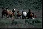 East Warm Springs Herd Management Area with wild horses.  Lazarus Band near Burns, Oregon.