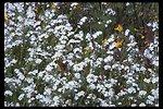 Fragrant Popcorn flower (Plagiobothrys figuratus).