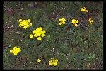 Agate Desert Lomatium, Cook's Desert Parsley (Lomatium cookii).