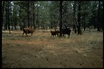 Cows found walking around in the forest.