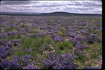Field of Lupine following wild fire at Wright's Point area near Burns, Oregon.