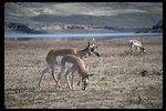 Large herd of Prong Horn Antelope at Warm Springs Reservoir.