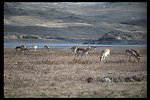 Large herd of Prong Horn Antelope at Warm Springs Reservoir.