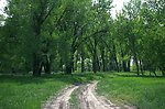 The administrative road that goes through a grove of cottonwood trees in the Sundance Lodge Recreation Area