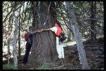 Large Fir tree on Fence Creek with two people stretching their arms around it.