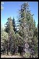 Large Fir trees on Fence Creek.