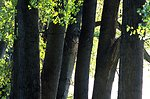 View of six cottonwood tree trunks