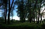 Cottonwood trees in the Sundance Lodge Recreation Area