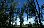 Cottonwood Trees against a blue sky in the Sundance Lodge Recreation Area