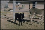 Wanted! Loving family with cozy corral. Clean environment requested. Will relocate. Capable of carring own baggage long distances. Good listener. Meet me, or my brother, at the next wild horse and burro adoption.